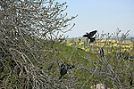 Israel, Shephelah, Jackdaws (Corvus monedula) on a Fig tree in Park Adulam