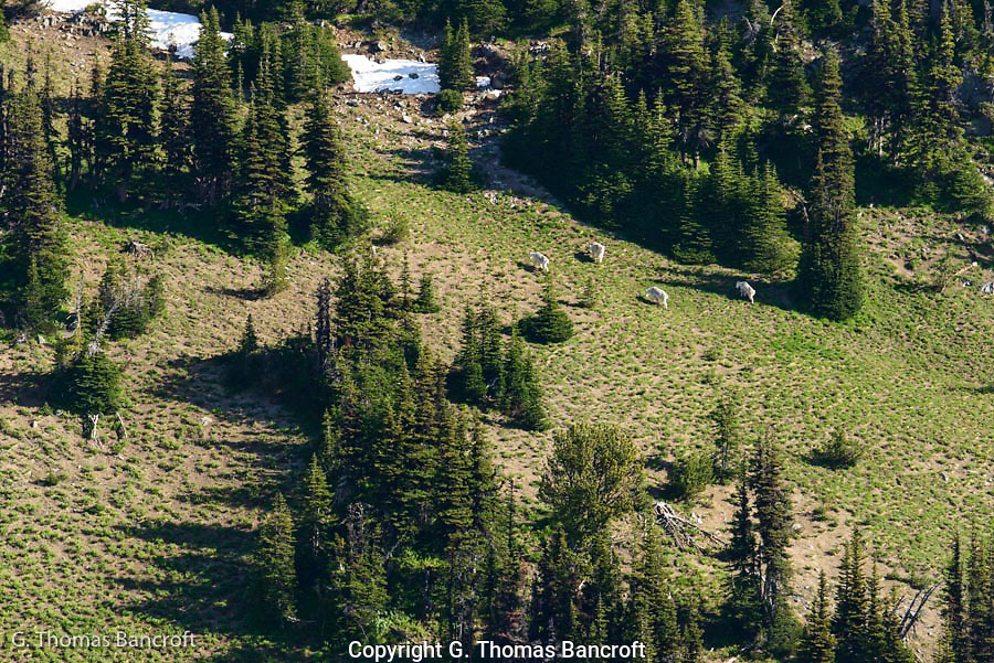 A family of mountain goats forage across an alpine meadow in Mt Rainier Wilderness.