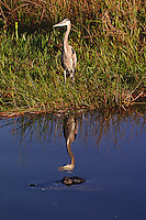 Great Blue Heron, Ardea herodias<br /> American Alligator, Alligator mississippiensis<br /> Everglades National Park, Florida