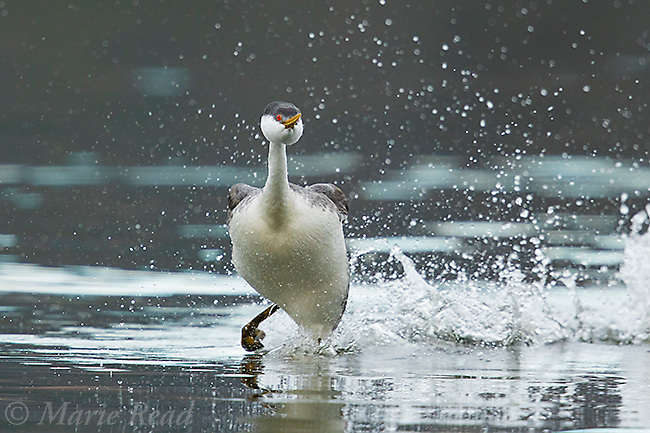 "Western Grebe (Aechmorphus occidentalis), adult running at beginning of ""rushing"" courtship display, near Escondido, California, USA"