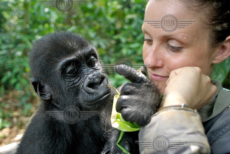 Rachel with a young gorilla she is taking care of. She spends many hours per day taking care of him as he now thinks of her as his mother. Rachel has 'raised' most of the young gorillas that are cared for in captivity by Ape Action Africa - formerly CWAF (Cameroon Wildlife Aid Fund).