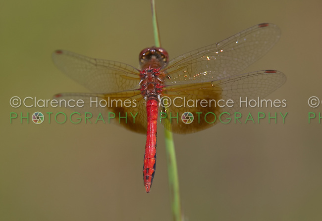 Band-winged Meadowhawk (Sympetrum semicinctum) Dragonfly - Male, Ward Pound Ridge Reservation, Cross River, Westchester County, New York