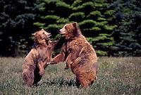 Kodiak Bears aka Alaskan Grizzly Bears and Alaska Brown Bears (Ursus arctos middendorffi) fighting - North American Wild Animals