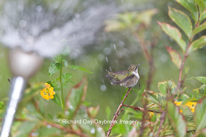01162-13103 Ruby-throated Hummingbird (Archilochus colubris) bathing in sprinkler mist, Marion Co, IL