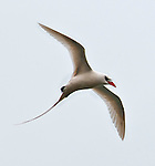 A red-tailed tropicbird (Phaethon rubricauda) in flight, seen at the Kilauea Point National Wildlife Refuge, Kauai, Hawaii