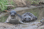 Elephant seal weaners bathing in pond at Ano Nuevo State Park.  Staying cool in pond