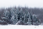 Boreal forest covered with ice in winter, Riding Mountain National Park, Manitoba, Canada