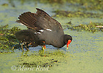 Common Gallinules (Gallinula chloropus), adult foraging with downy chick, Montezuma National Wildlife Refuge, New York, USA