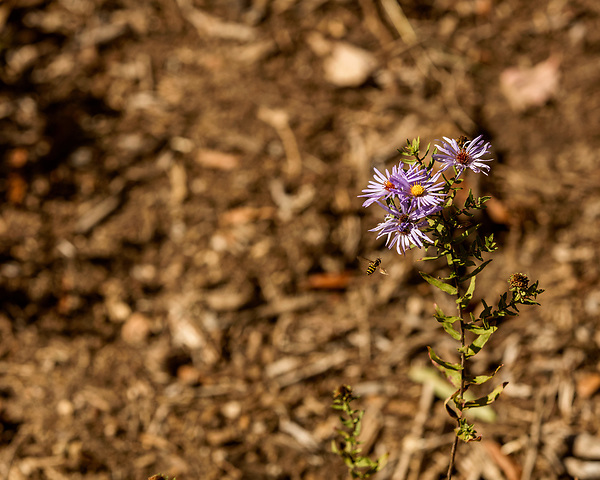 October 26, 2017. Raleigh, North Carolina.<br /> <br /> A bee visits an aromatic aster planted in the new garden. <br /> <br /> A new garden designed by Ben Skelton containing native Plants For Birds was dedicated at the North Carolina Executive Mansion.