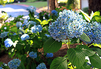 Stock photo: Blue hydrangea glowing in <br /> sunlight in a garden in Georgia USA.