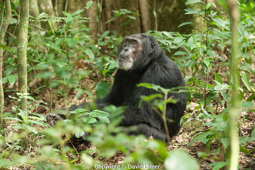 Lone male chimpanzee sitting on forest floor.
