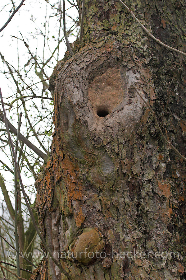 Kleiber, Höhle in Astloch eines Obstbaumes mit Lehm verengt, Spechtmeise, Sitta europaea, Nuthatch, Sittelle torchepot