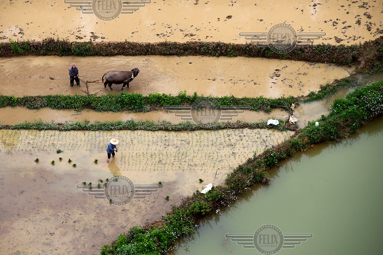A man ploughs a rice paddy with a buffalo while a woman plants rice seedlings in a the field next to them. /Felix Features