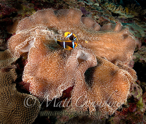 Pair of Clown Fish with baby clown fish in Anemone, Yap Micronesia (Photo by Matt Considine - Images of Asia Collection) (Matt Considine)