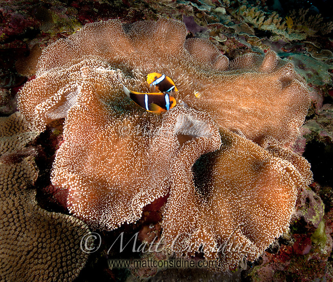 Pair of Clown Fish with baby clown fish in Anemone, Yap Micronesia (Photo by Matt Considine - Images of Asia Collection)