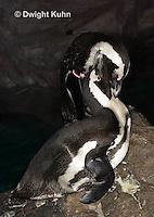 """1Z08-503z  African Penguin """"Blackfooted Penguin"""" - Spheniscus demersus, Threatened Species"""