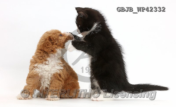 Kim, ANIMALS, REALISTISCHE TIERE, ANIMALES REALISTICOS, fondless, photos,+Black-and-white kitten, Solo, 6 weeks old, dabbing at F1b toy goldendoodle puppy.,++++,GBJBWP42332,#a#