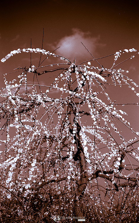 Japanese cherry blossoms photographed in the Spring of the Fukushima Nuclear crisis.