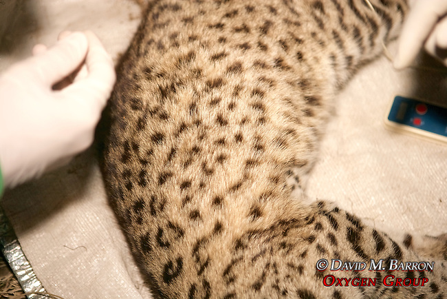 Working On Geoffroy's Cat