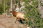 Bull Elk Exiting Forest, Gibbon River, Yellowstone National Park, Wyoming