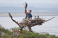BNPS.co.uk (01202 558833)<br /> Pic: Phil Yeomans<br /> <br /> Mark Singleton of the RSPB puts the finishing touches to an Osprey nest, complete with plastic birds, at the Arne nature reserve at Poole harbour in Dorset in a previous attempt to bring ospreys back to the area. <br /> <br /> Attempts to get ospreys to recolonise southern England for the first time in 200 years have been boosted after a chick involved in a conservation programme was spotted in Gambia.<br /> Experts hope the bird of prey which became extinct in large swathes of western Europe at the beginning of the 19th century will once again establish a population at Poole Harbour in Dorset.<br /> To achieve this, for the past three years they have gradually reintroduced osprey chicks there and monitored their progress.<br /> Now, one of the chicks in the programme has been spotted in the West African country having successfully completed the perilous 4,000 mile