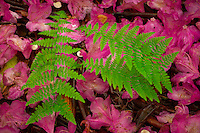 ferns and fallen rhododendron petals