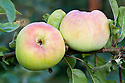 Apple 'Devonshire Buckland', late September. An English culinary apple first recorded in 1831, though mentioned earlier in 1810 by the name of 'Dredge's White Lily' by William Dredge of Wishford, near Salisbury, Hampshire.