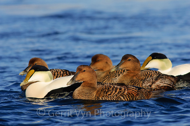 Group of adult female and male Common Eiders (Somateria mollissima) of the eastern subspecies S. m. dresseri. Gloucester, Massachusettes. March.