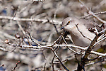 A mockingbird hunts amongst the twigs of a winter-bare oak for insects.