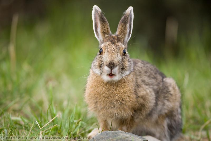 Snowshoe hare in summer phase, Denali National Park, Interior, Alaska.