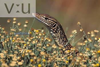 Gould's Goanna, Sand Monitor ,Varanus gouldi-varanidae,