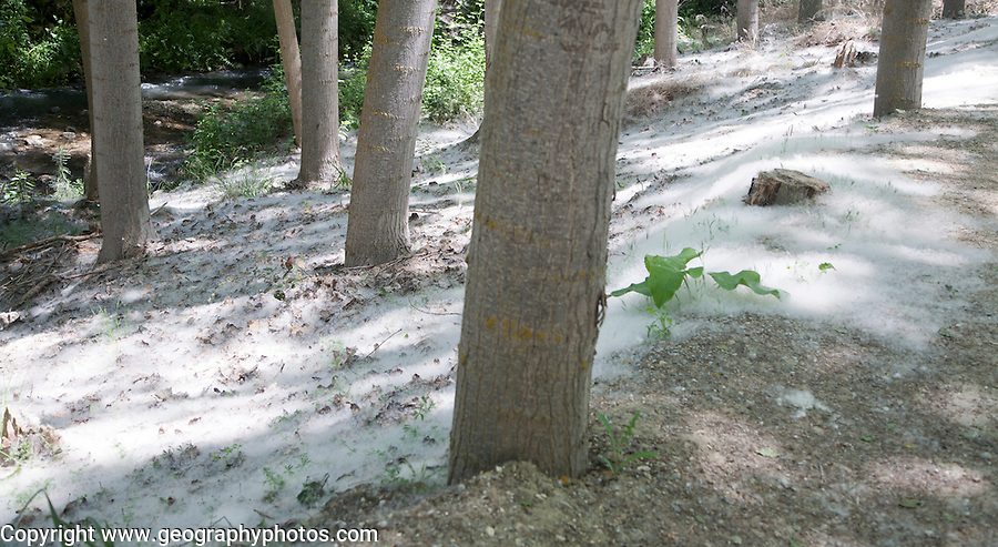 Ground covering of white seeds of the Quaking Aspen tree, Populus tremuloides, Alhama de Granada, Spain