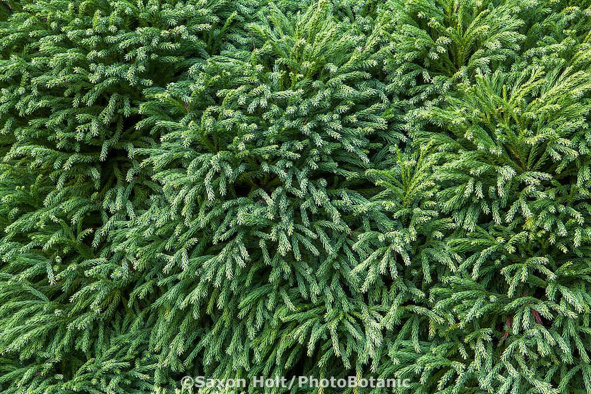 Cryptomeria japonica 'Globosa Nana' dwarf evergreen conifer in San Francisco Botanical Garden