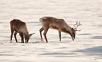 Caribou paw through the snow in search of food on Alaska's north slope.