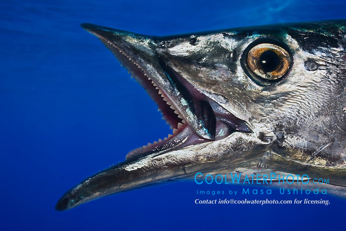 Wahoo, Pacific Kingfish or Ono in Hawaiian, Acanthocybium solandri, off Kona Coast, Big Island, Hawaii, Pacific Ocean.