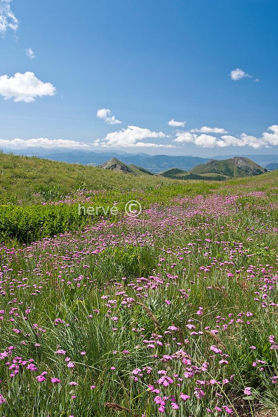 En montant vers le pic de Gleize (depuis le col de Gleize) : prairie avec, silène fleur de Jupiter ou oeillet de Dieu ( Lychnis flos-jovis = Silene flos-jovis ).alt : 1995m // Climbing to the peak Gleize, (Hautes-Alpes, France) Lychnis flos-jovis (Flower-of-Jove)
