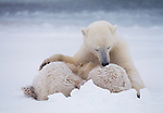 A polar bear sits in the snow with her cubs cuddled up to her after nursing.