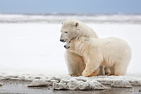 Polar bear adult female and her cub on the a snow covered barrier island in the Arctic National Wildlife Refuge.