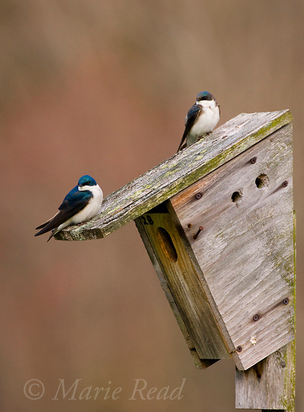 Tree Swallows (Tachycineta bicolor) pair at a nest box, Dryden New York, USA