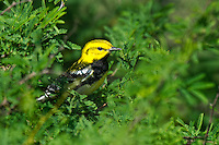 591400028 a wild male black-throated green warbler dendroica virens songbird on south padre island texas united states