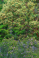 WASJ_D127 - USA, Washington, San Juan Island National Historical Park, English Camp, Pacific madrone trees and wild rose in bloom.