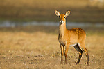 Puku (Kobus vardonii) juvenile, Busanga Plains, Kafue National Park, Zambia