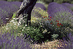 Europe, FRA, France, Provence, Valensole, Field of lavender, Blossom, Almond tree, Trunk, Lavandula angustifolia, latifolia, hybrida (= intermedia)....[ For each utilisation of my images my General Terms and Conditions are mandatory. Usage only against use message and proof. Download of my General Terms and Conditions under http://www.image-box.com or ask for sending. A clearance before usage is necessary...Material is subject to royalties. Each utilisation of my images is subject to a fee in accordance to the present valid MFM-List...Contact | archive@image-box.com | www.image-box.com ]