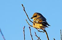 Shrike - Loggerhead