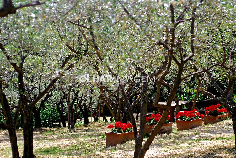 Pomar de oliveiras em Assis. Umbria. Itália. 2006. Foto de Luciana Whitaker.