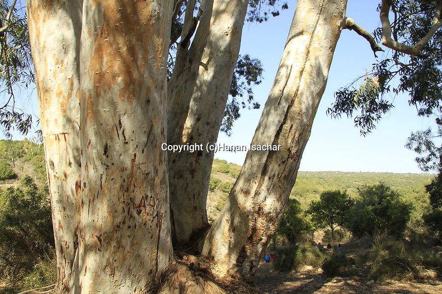 Israel, Upper Galilee, Eucalyptus tree in Ein Meirav