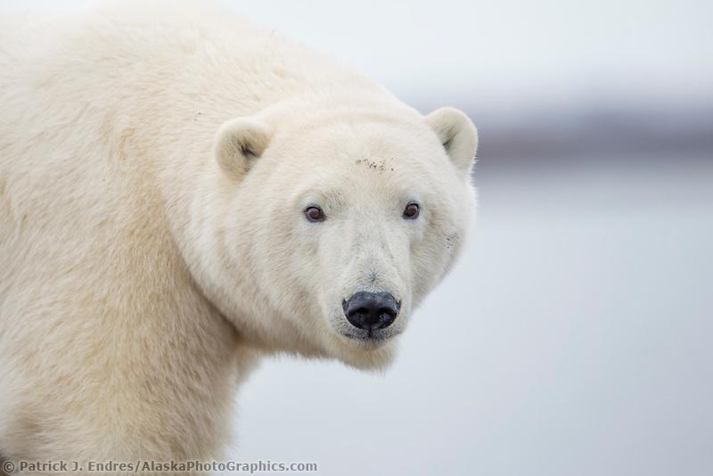 Polar bear portrait, arctic Alaska.