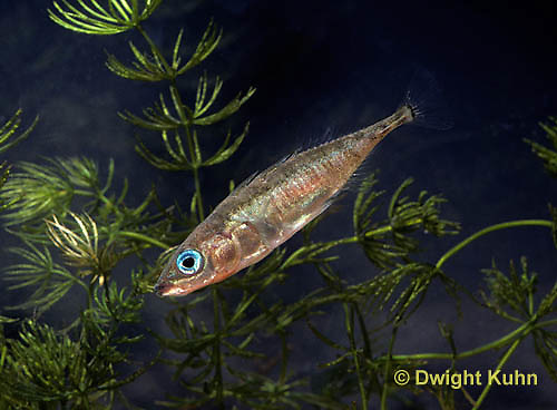 1S12-008z  Three Spined Stickleback - male with reproductive colors - red belly, blue eyes - Gasterosteus aculeatus