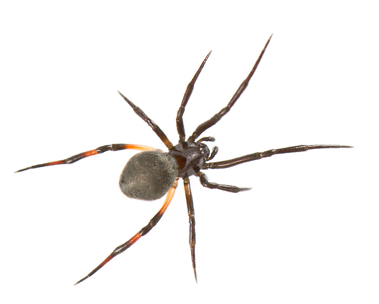 Dipoenas tristis - female. This rare species (Na) hunts in grass and heather on heathlands in Southern England and feeds on ants.