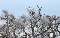 """An eagle perches atop the """"Eagle Willows"""" at Lower Klamath National Wildlife Refuge."""